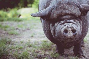 En lo que el cerdo se allegó, por Wilfredo Carrizales